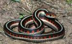 Thamnophis sirtalis infernalis - California Red-sided Gartersnake - snake species list a - z | gveli | გველი