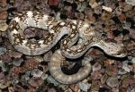 Croatalus molossus - Black-tailed Rattlesnake | Snake Species
