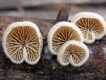 Crepidotus fimbriatus - Fungi Species