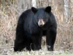 American black bear - bears species | datvis jishebi | დათვის ჯიშები