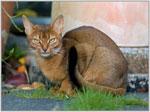 Abyssinian | კატა | კატები | კატის ჯიშები