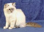 Birman | კატა | კატები | კატის ჯიშები