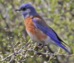 Western Bluebird - Bird Species | Frinvelis jishebi | ფრინველის ჯიშები