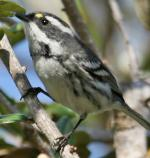 Black-throated Gray Warbler - Bird Species | Frinvelis jishebi | ფრინველის ჯიშები