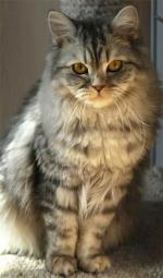 British Semi-Longhair | Cat | Cat Breeds