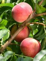 White Lady - Peach Varieties list a - z