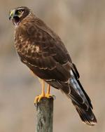 Northern Harrier - Bird Species | Frinvelis jishebi | ფრინველის ჯიშები