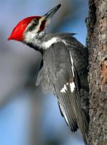 Pileated Woodpecker - Bird Species | Frinvelis jishebi | ფრინველის ჯიშები