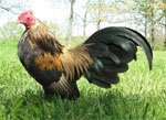 Old English Game | Chicken | Chicken Breeds