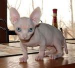 Bambino | კატა | კატები | კატის ჯიშები