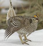 Sharp-tailed Grouse - Bird Species | Frinvelis jishebi | ფრინველის ჯიშები