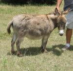 Miniature Donkey - donkeys breeds | viris jishebi | ვირის ჯიშები
