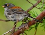 Yellow-eyed Junco - Bird Species | Frinvelis jishebi | ფრინველის ჯიშები