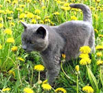 Russian Blue | Cat | Cat Breeds