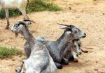 Jining Grey Goat - Goats Breeds | txis jishebi | თხის ჯიშები