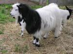 Myotonic (Wooden Leg) Goat - Goats Breeds | txis jishebi | თხის ჯიშები