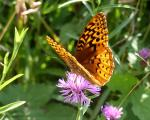 S W Fritillary | Butterfly species
