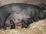 Mulefoot Hog - pig breeds | goris jishebi | ღორის ჯიშები