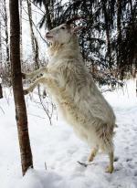 Finnish Landrace Goat - Goats Breeds | txis jishebi | თხის ჯიშები