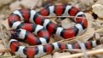 Lampropeltis triangulum gentilis  - Central Plains Milksnake | Snake Species