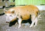 Arapawa Island - pig breeds | goris jishebi | ღორის ჯიშები