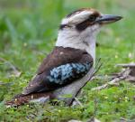 Laughing Kookaburra - Bird Species | Frinvelis jishebi | ფრინველის ჯიშები