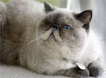 Exotic | Cat | Cat Breeds