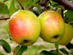 GoldRush - Apple Varieties | vashlis jishebi | ვაშლის ჯიშები