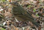 Olive-backed Pipit - Bird Species | Frinvelis jishebi | ფრინველის ჯიშები