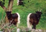 Valais Blackneck - Goats Breeds | txis jishebi | თხის ჯიშები