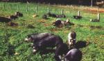 Moura - pig breeds | goris jishebi | ღორის ჯიშები