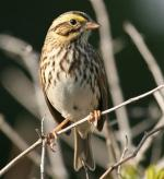 Savannah Sparrow - Bird Species | Frinvelis jishebi | ფრინველის ჯიშები