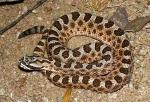 Sistrurus catenatus edwardsii - Desert Massasauga | Snake Species