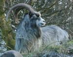 Irish Goat | Goat | Goat Breeds