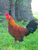 Sicilian Buttercup | Chicken | Chicken Breeds