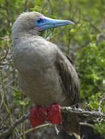 Red-footed Booby - Bird Species | Frinvelis jishebi | ფრინველის ჯიშები