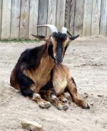 San Clemente Goat - Goats Breeds | txis jishebi | თხის ჯიშები