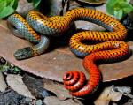 RING-NECKED SNAKE <br /> Diadophis punctatus | Snake Species