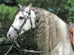 Andalusian | Horse | Horse Breeds