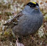 Golden-crowned Sparrow - Bird Species | Frinvelis jishebi | ფრინველის ჯიშები