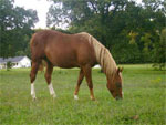 Chincoteague | Horse | Horse Breeds