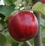 Chrisolyn Jonathan - Apple Varieties list a - z