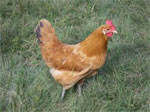 Catalana | Chicken | Chicken Breeds