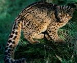 Marbled Cat - wild cats - lynx | ფოცხვერი | focxveri