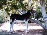 Mammoth Jack Stock - donkeys breeds | viris jishebi | ვირის ჯიშები