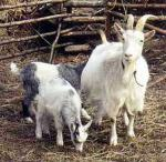 Göingeget Goat - Goats Breeds | txis jishebi | თხის ჯიშები