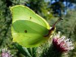 Brimstone Butterflies | Butterfly species