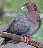 Red-billed Pigeon - Bird Species | Frinvelis jishebi | ფრინველის ჯიშები