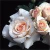 French Lace - Rose Varieties | VARDI |  ვარდი