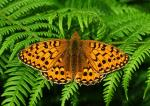 Dark Green Fritillary - Butterfly species | PEPLIS JISHEBI | პეპლის ჯიშები